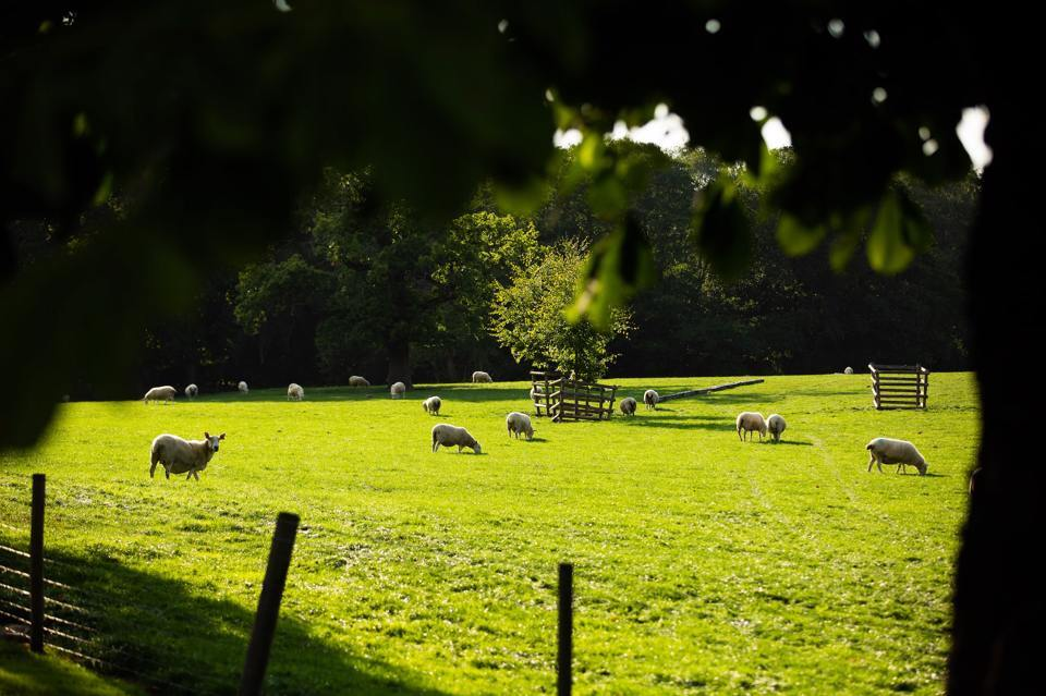 Farm land with a herd of sheep eating grass